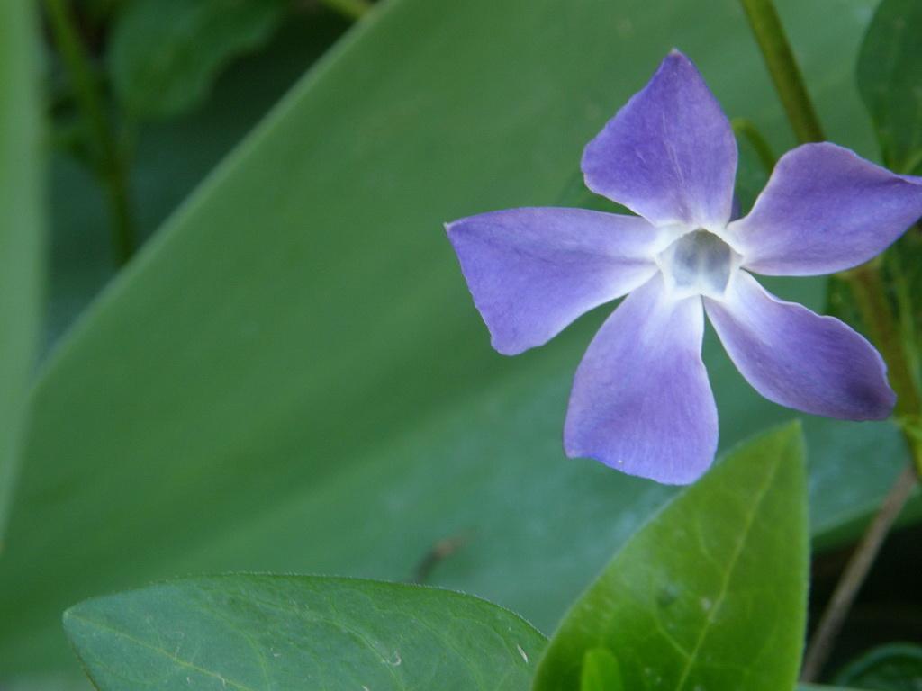 Virágzó nagy télizöld meténg