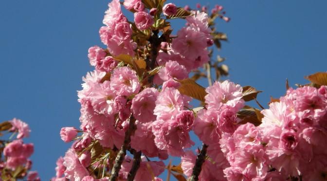 Japán díszcseresznye, egy tavaszi csoda